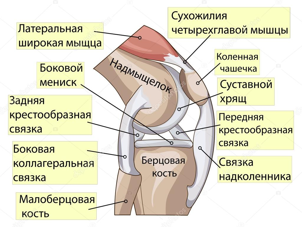 Anatomy. Structure knee joint vector — Stock Vector © toricheks2016 ...