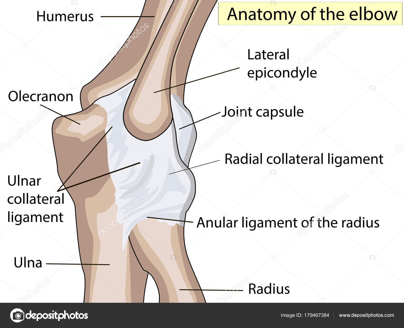 Anatomical Design Posterior And Radial Collateral Ligament Of The