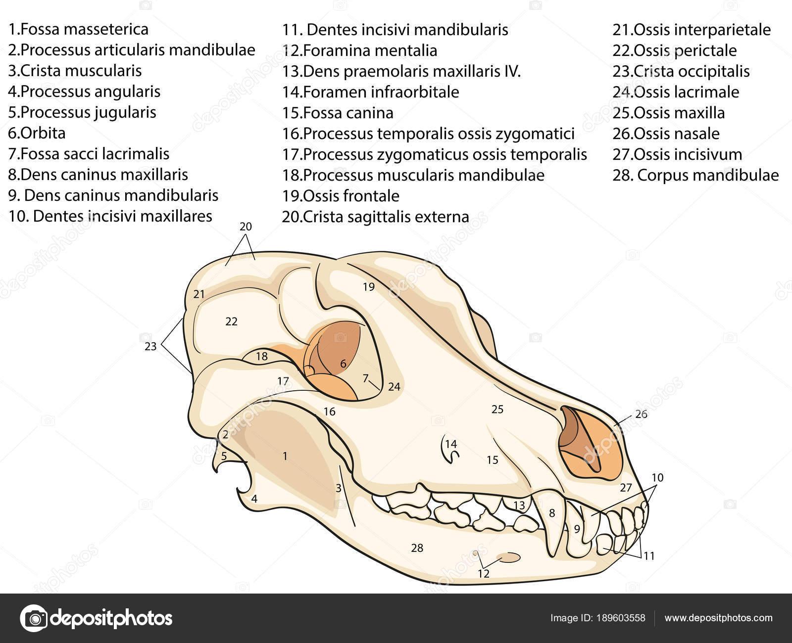 El cráneo de un perro. Estructura de los huesos del cabeza ...