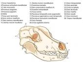 Fotografia Il cranio di un cane. Struttura delle ossa del disegno anatomico, testa. In latino