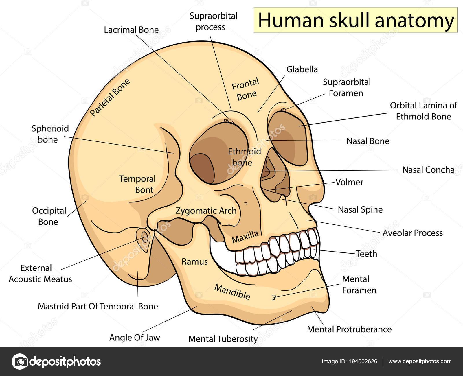 Educación Médica gráfico de diagrama de cráneo humano de la biología ...