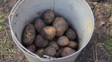 Manual sorting of potato seeds with sprouts in buckets, depending on size.