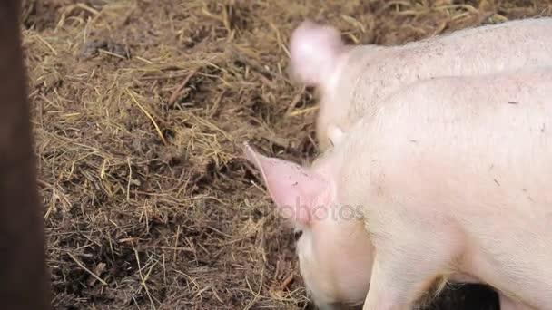 little pink pig on a farm