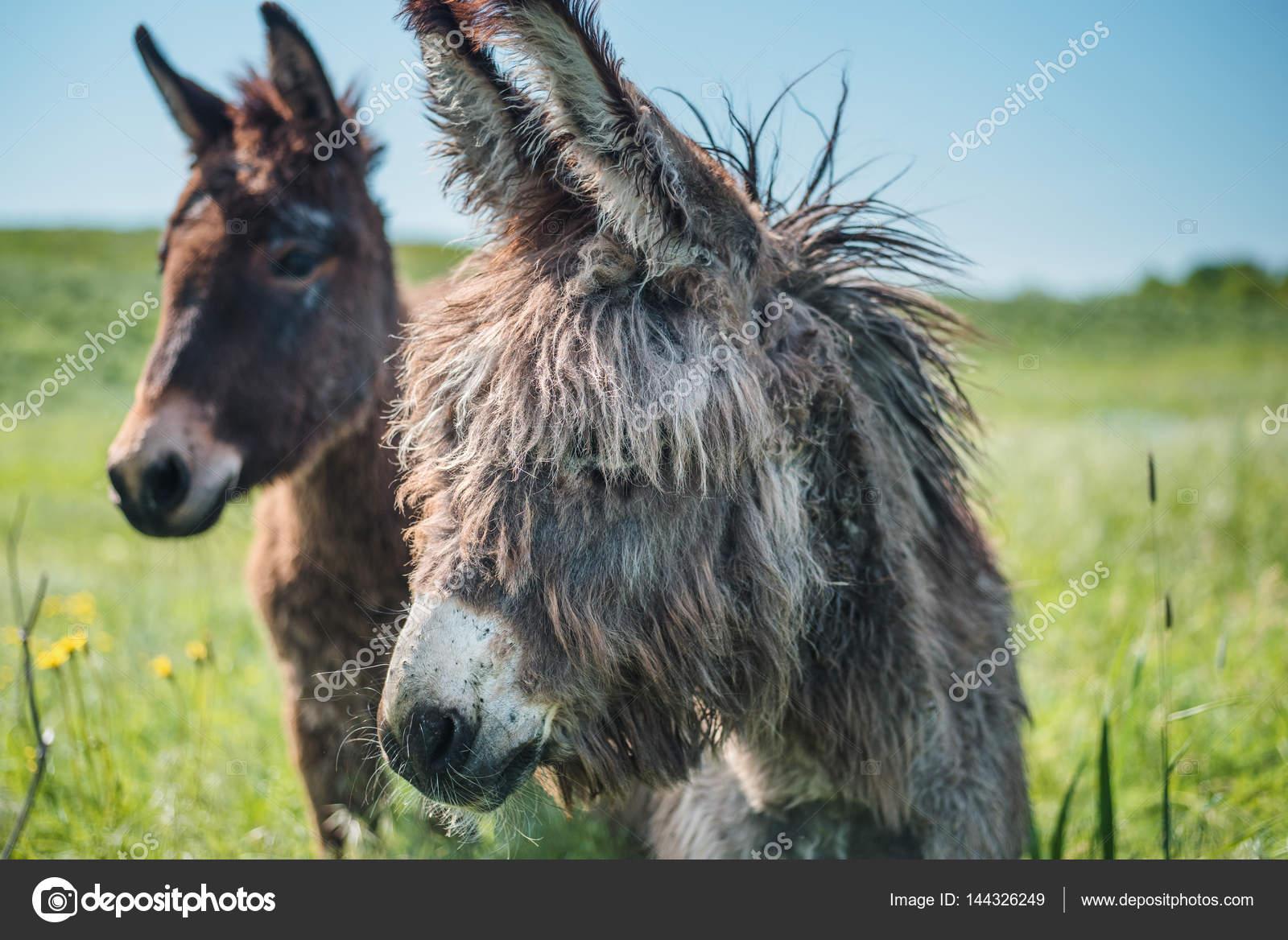 Afrikanska stora åsnor