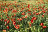 Red poppy flowers on a wheat field in summertime