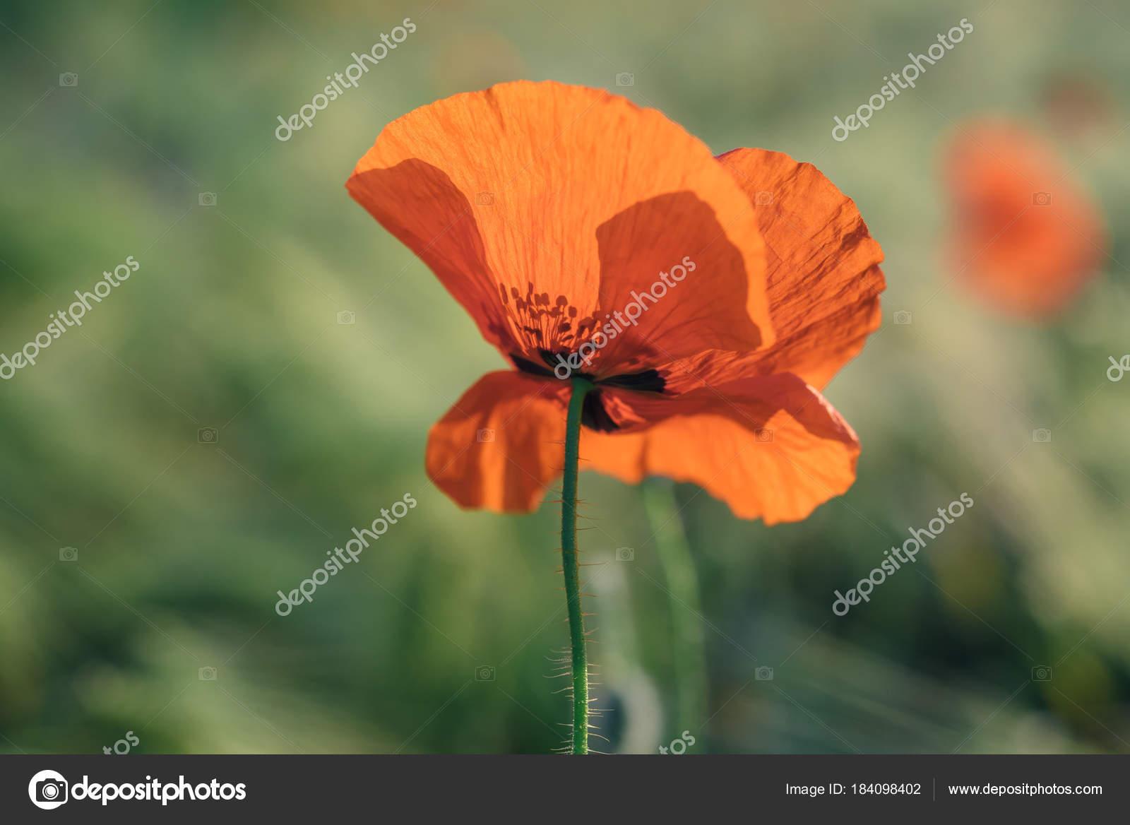 Close Photo Single Poppy Flower Red Color Poppy Petal Backlit