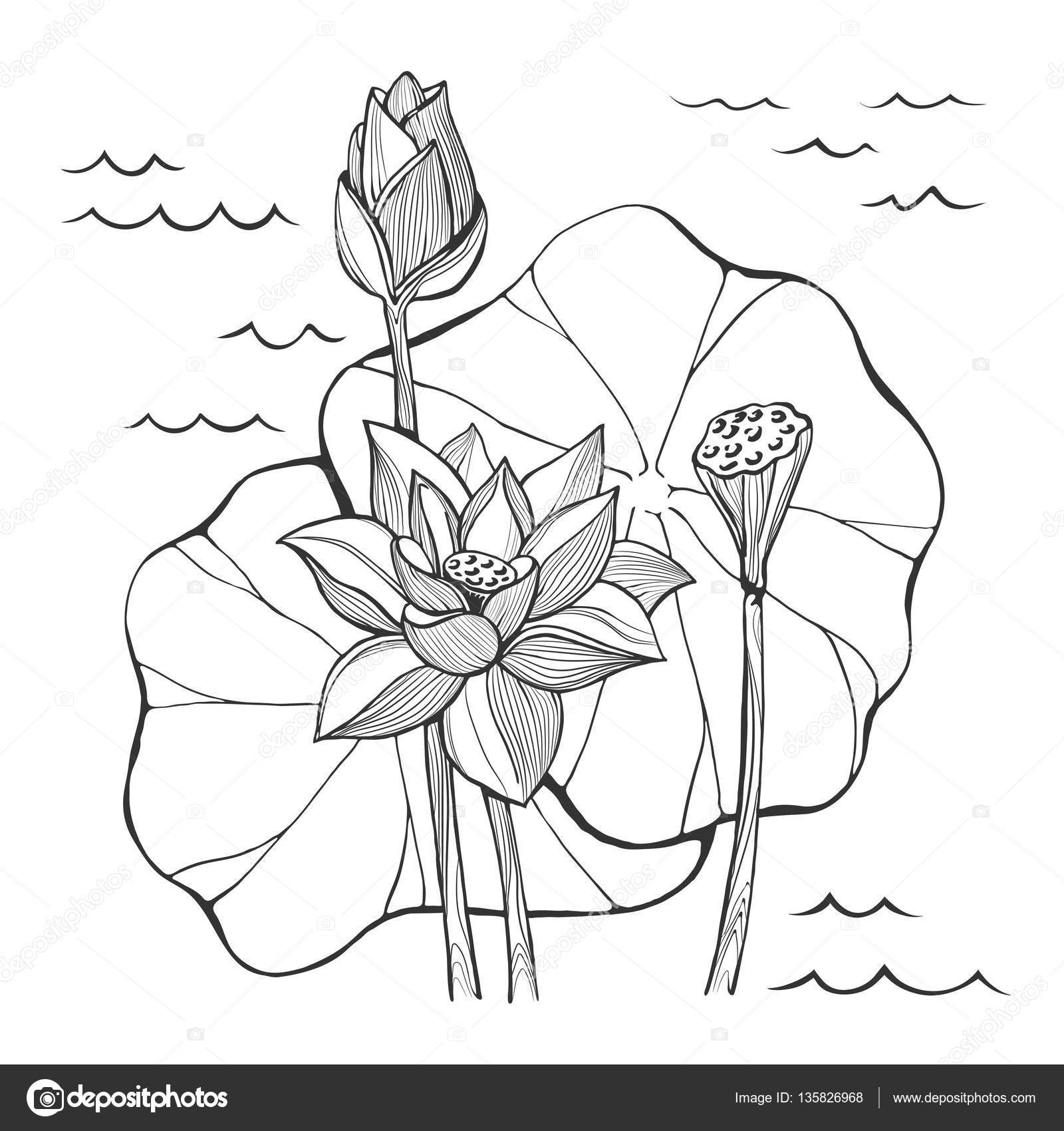 Vector sketch lotus flowers bud and seeds stock vector roma79 vector sketch lotus flowers bud and seeds stock vector mightylinksfo
