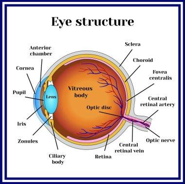 Eyeball structure. Medicine.