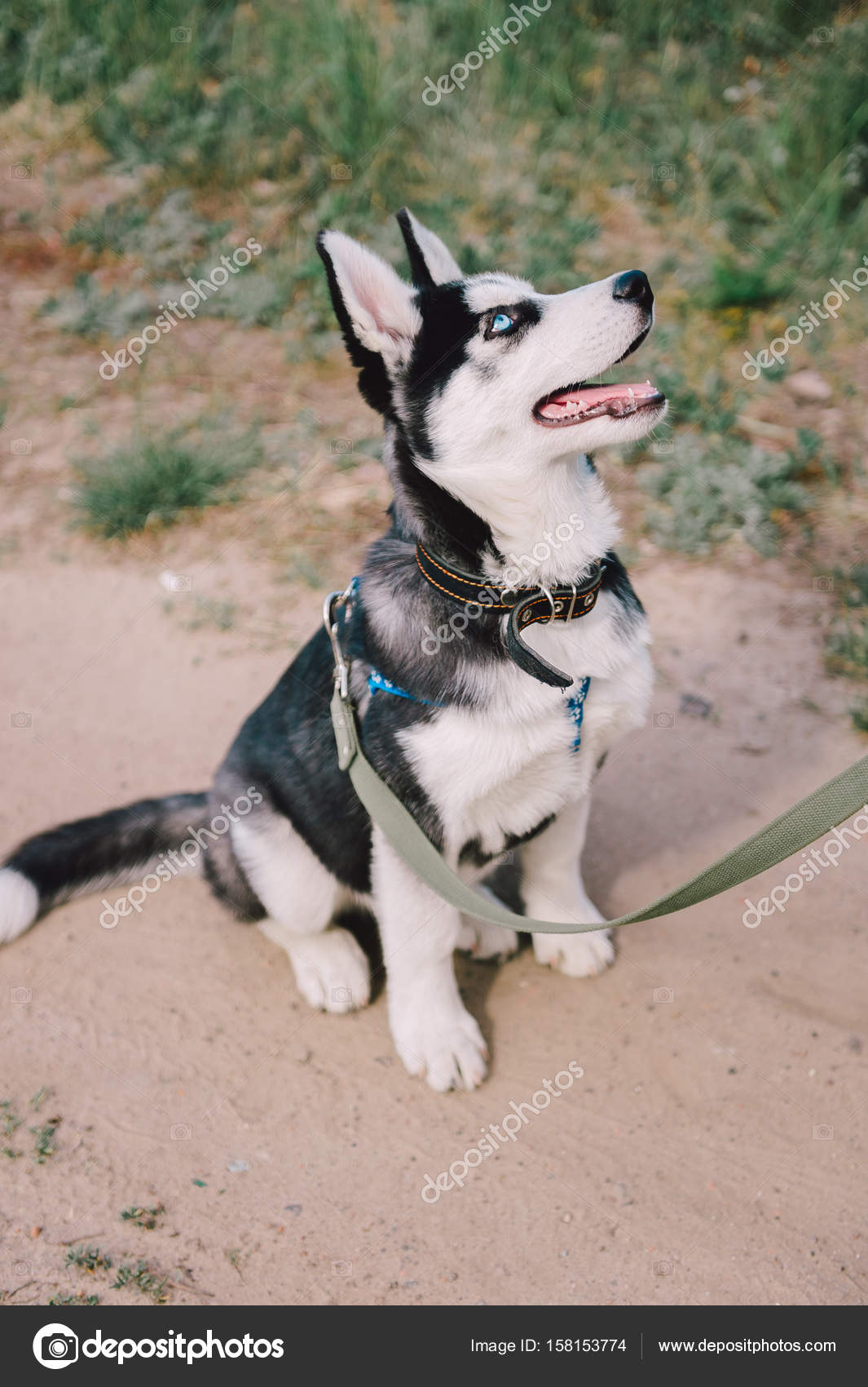 Cute Siberian Husky Puppy Dog Play Outdoors At Sunny Summer Weather Stock Photo C Dashakiseleva91 Gmail Com 158153774