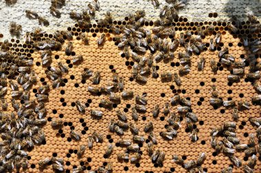 Bees on a beehive frame with a closed brood_3