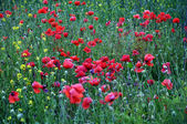 Red poppies field_9