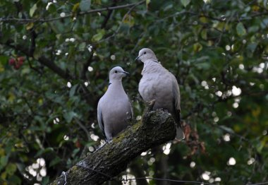 A pair of turtledoves garden_3