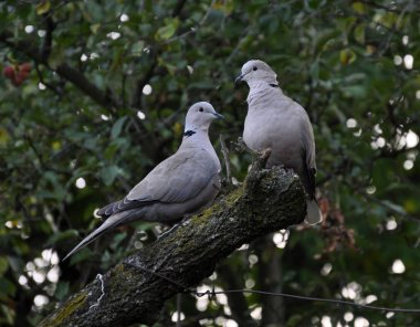 A pair of turtledoves garden