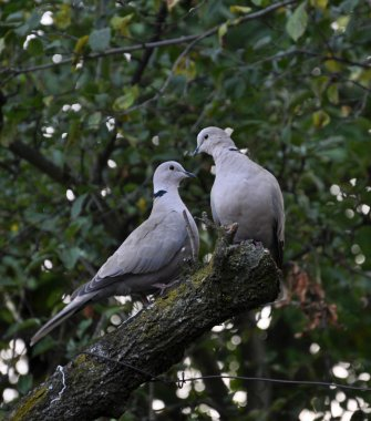 A pair of turtledoves garden_4