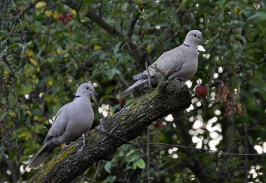 A pair of turtledoves garden_5
