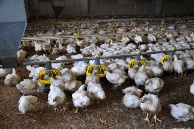 Farm for growing broiler chickens_2