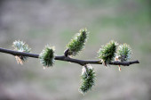 Early spring flowering willow (Salix caprea)