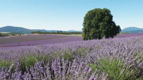 lavender plants in bloom at a farm in tasmania