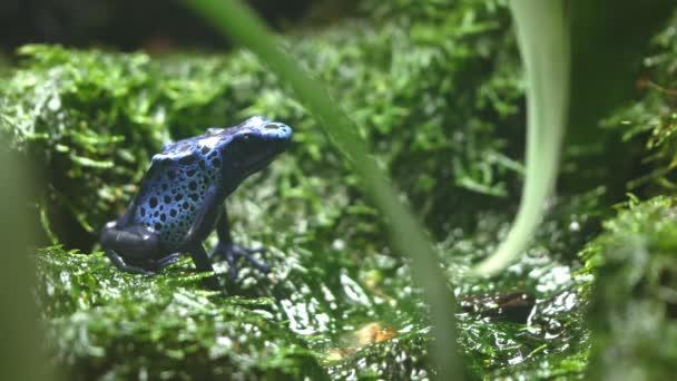 Seitenansicht eines bunten blauen Giftfroschs, der auf Moos sitzt
