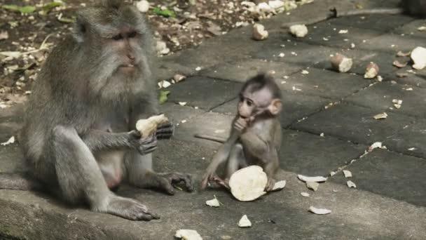 macaque and baby feeding on sweet potato at ubud, bali