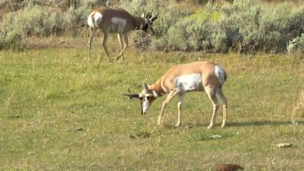 pronghorn antilopa hrabat zemi v žlutém kameni