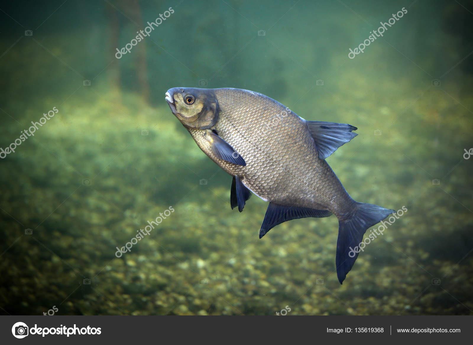 Orata un pesce d 39 acqua dolce foto stock for Pesce pulitore acqua dolce