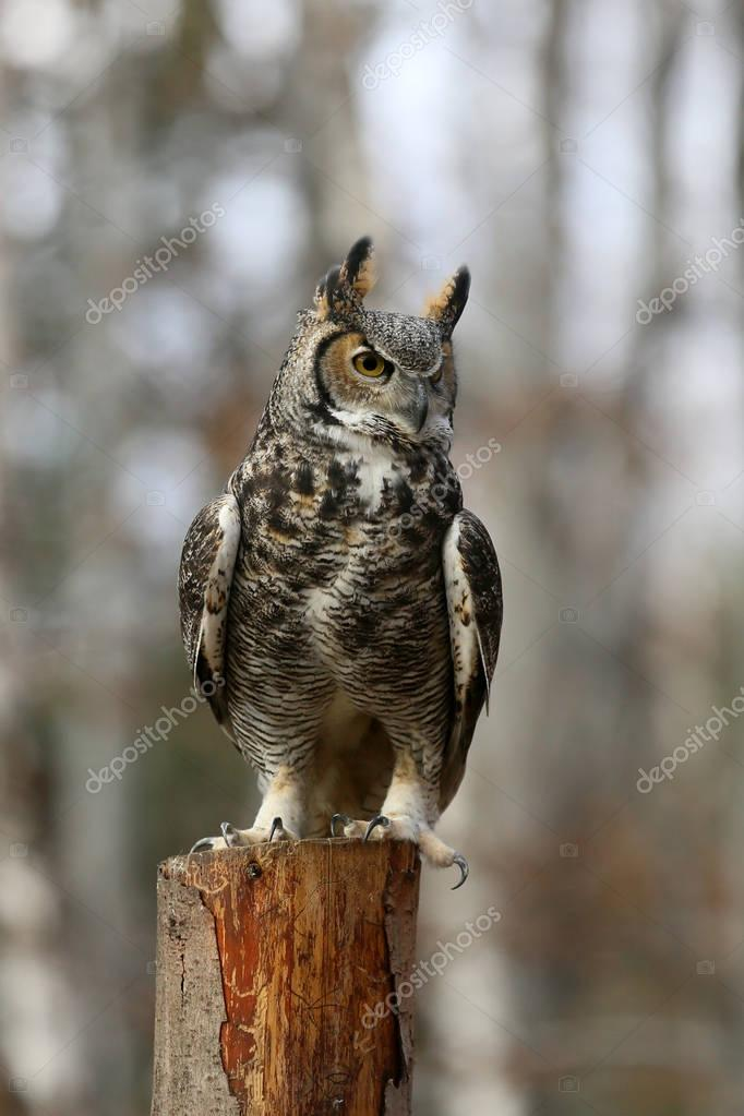 Owl looks for his prey