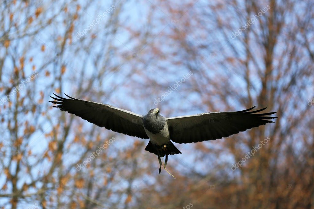 Bird of prey in the glide in breeding wild birds.