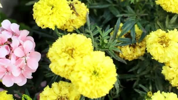 Garden. Flower bed. Blooming plants with small pink and big yellow flowers. HD