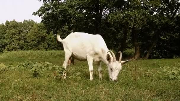 Stádo koz pasoucí se v oblasti a krmení na rostoucí zelenou trávu. Zpomalený pohyb. HD