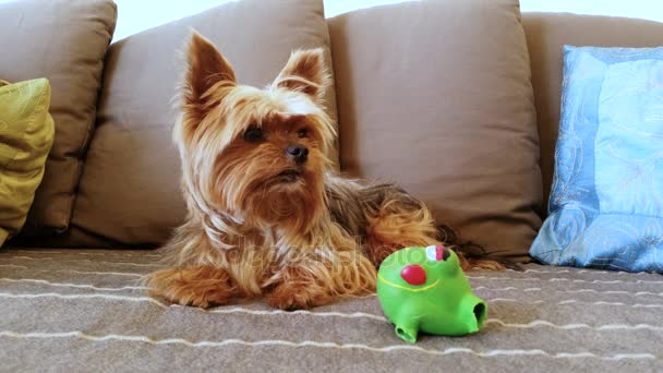 Domácí zvířata. Domácí zvířata. Psy. Jorkšírský teriér ležící s hračkou na pohovce. 4k