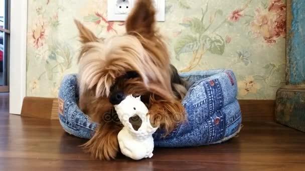 Domácí zvířata. Domácí zvířata. Jorkšírský teriér hrát s hračkami, v posteli psa. 4k