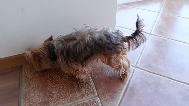 Domácí zvířata. Domácí zvířata. Pes. Jorkšírský teriér pes jíst z misky. 4k