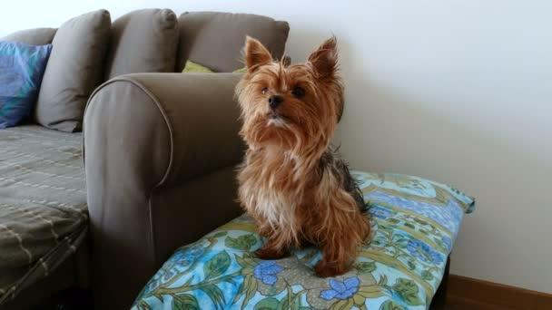 Domácí zvířata. Domácí zvířata. Psy. Jorkšírský teriér sedí na gauči. 4k