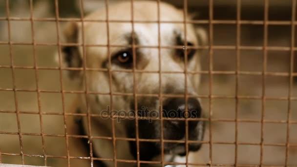 Homeless Central Asian shepherd dog behind bars in an animal shelter. HD