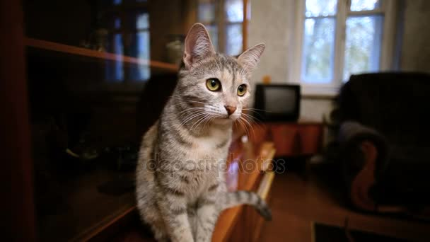 Háziállatok. Fiatal szürke korcs macska ül a fa szekrény otthon. HD