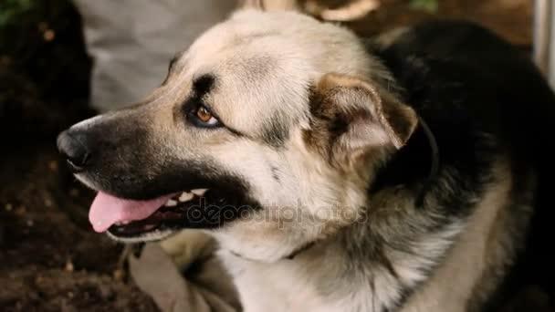 Domácí zvířata. Radostné roztomilý pes jako německý ovčák. HD