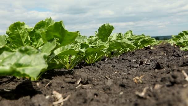 Mezőgazdasági ágazat. Zár-megjelöl szemcsésedik-ból fiatal zöld hajtások, cukorrépa. HD