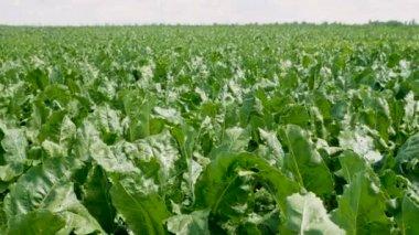 Zelinářství. V oblasti zrání cukrové řepy. 4k