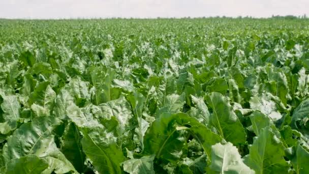 Coltivazione di ortaggi. Il campo di maturazione barbabietola da zucchero. 4k