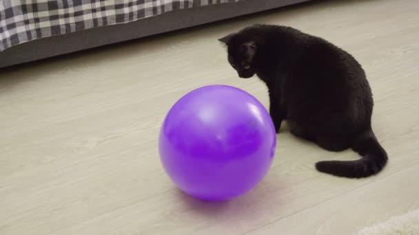 Háziállat. Egy fekete macska játszik egy lila buborék a nappali padlón. 4k