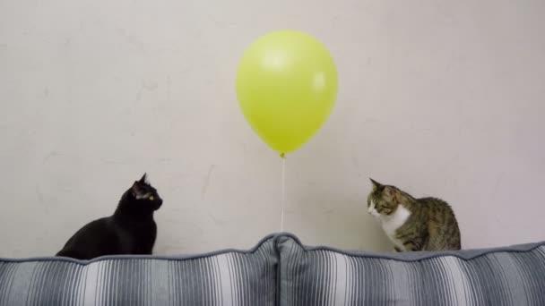 Háziállat. Két hazai Rövidszőrű macskák látszó-on sárga léggömb ülő-on dívány. 4k