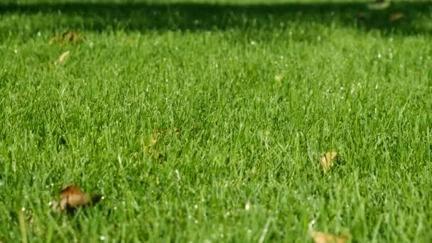 Zavlažování zahrady. Detailní záběr Rosy kapky na mladé svěží zelenou trávu. HD