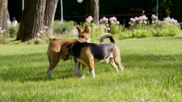 Basenji dog and beagle playing on a green grass in a summer park. 4K