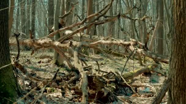 Suchý spálené padlých stromů v lese na jaře s kvetoucí zvonky. 4k
