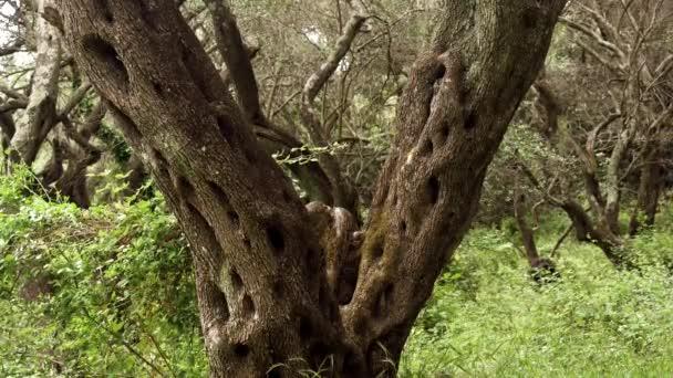 Olivenhain in Griechenland. Korfu. 4k