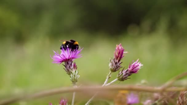 Űrdongó a virágon. A méhek nektárt gyűjtenek a virágzó virágokból. 4k