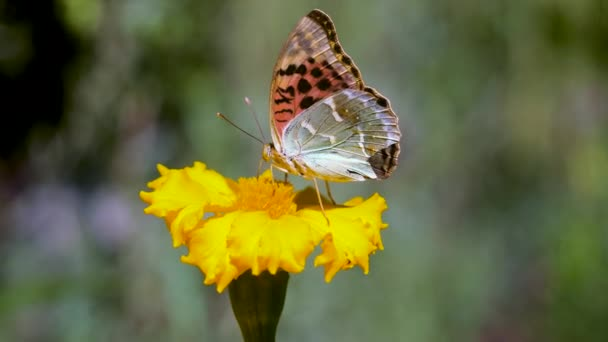 Close up of one butterfly collecting the nectar of a blooming yellow flower with its proboscis and flying away. 4K