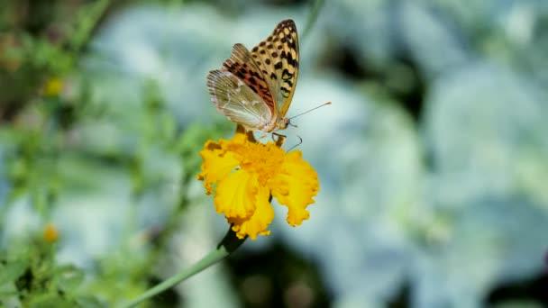 Nahaufnahme eines Schmetterlings, der mit seinem Rüssel den Nektar einer blühenden gelben Blume sammelt und davonfliegt. 4K