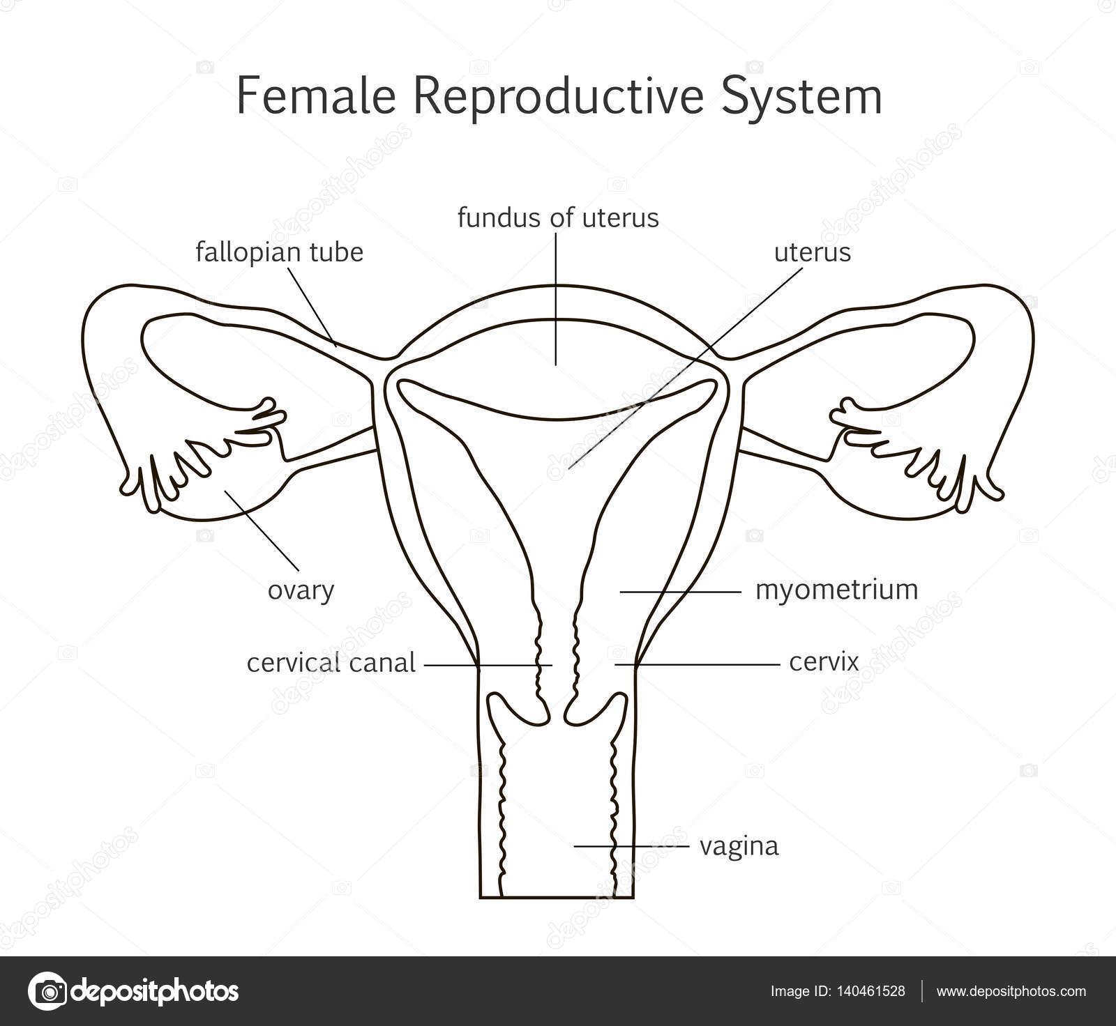 Icono de la línea de sistema reproductor femenino — Archivo Imágenes ...